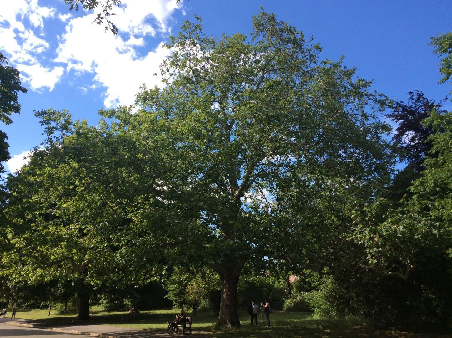 big tree oil Landscap img_12